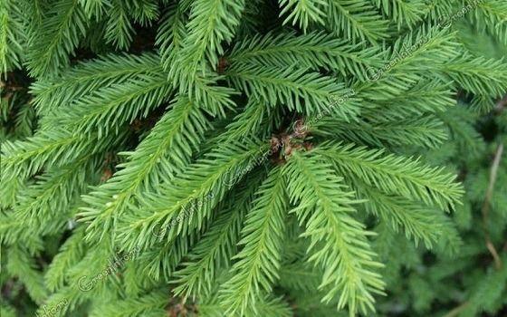 Учимся правильно выбирать елку к Новому году